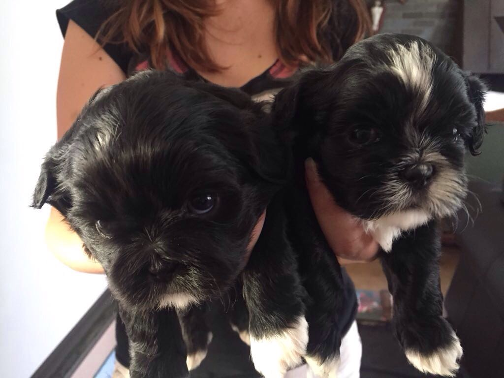 Shih-Tzu Puppies for sale beautiful pedigree