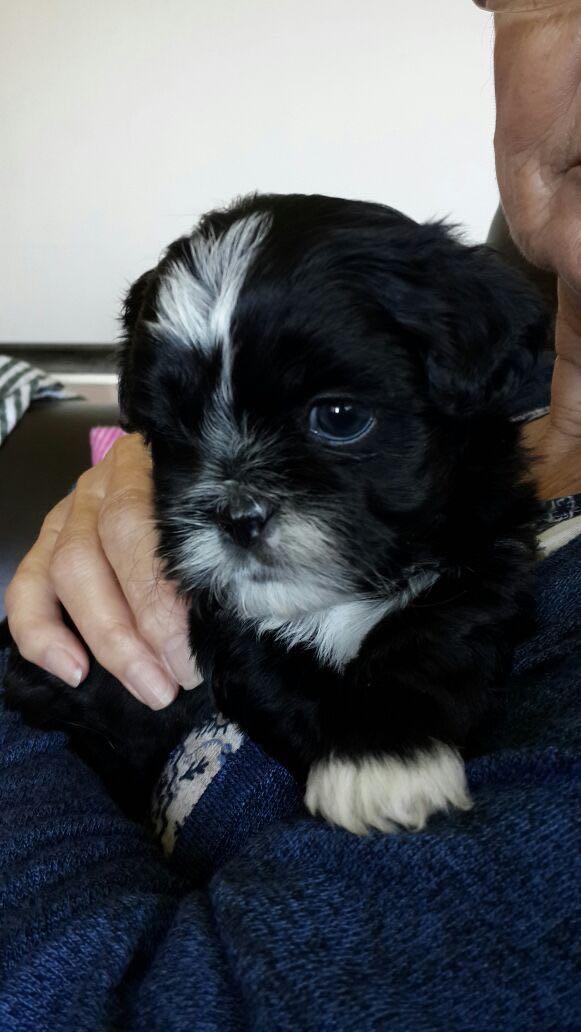 Shih-Tzu Puppies for sale beautiful pedigree