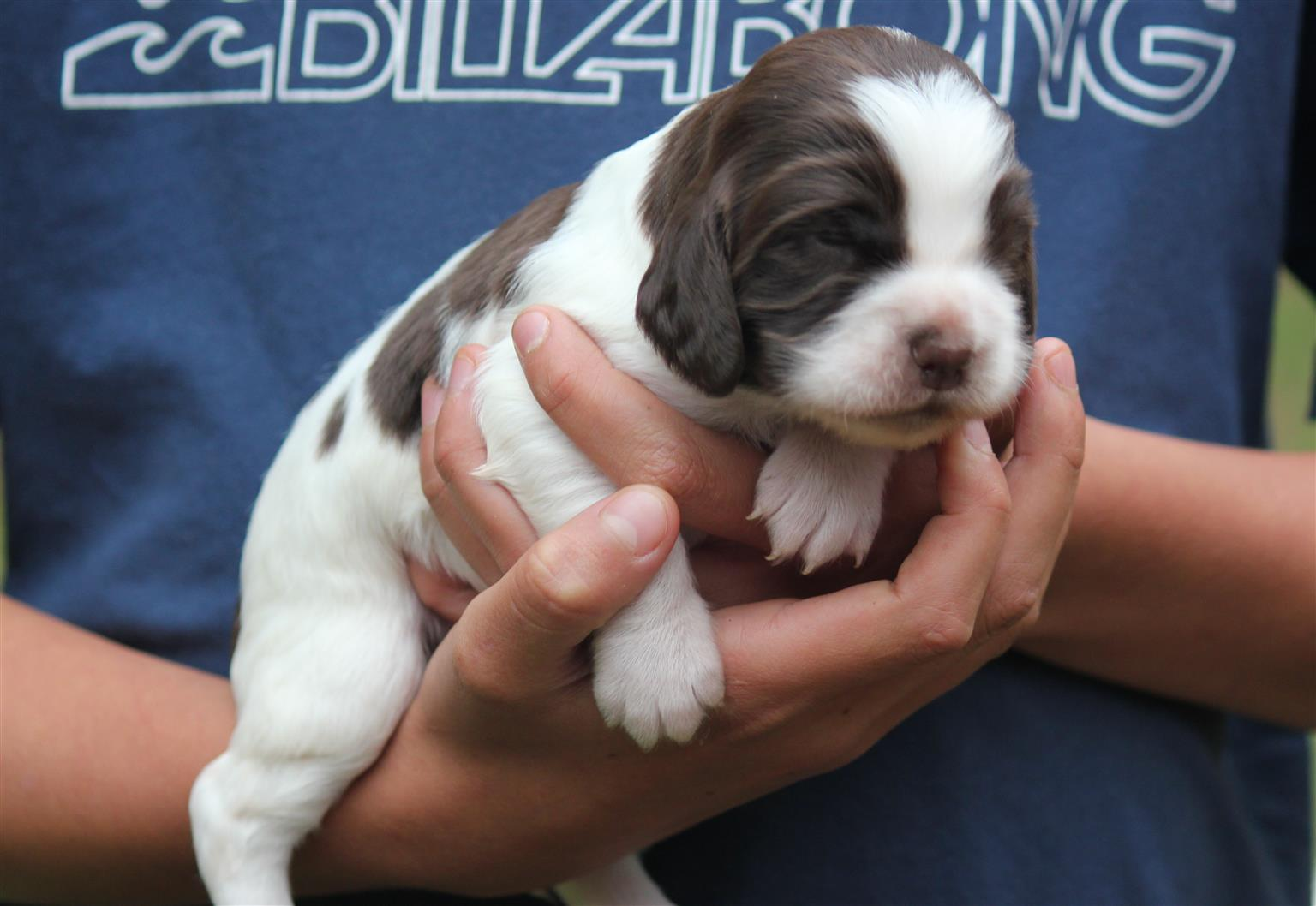 Adorable Springer Spaniel Puppies