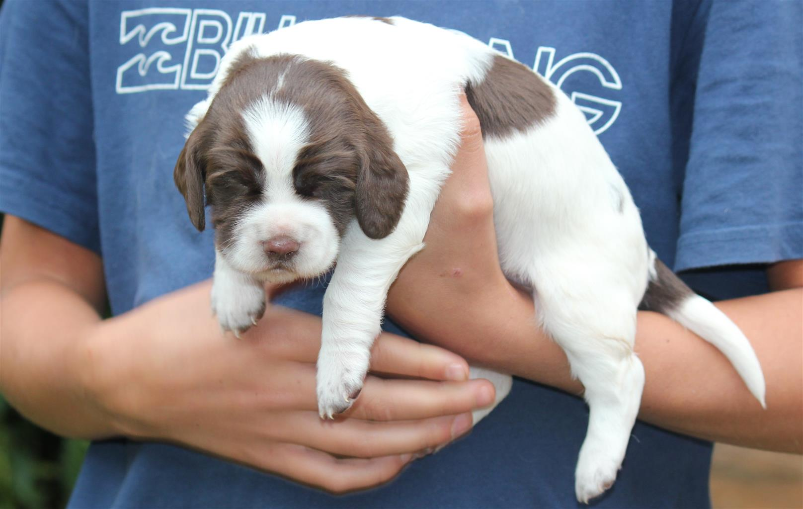 Adorable Springer Spaniel Puppies