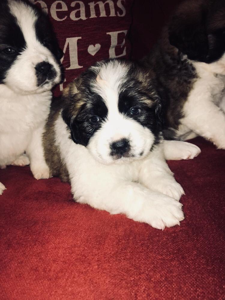 St.Bernard Puppies