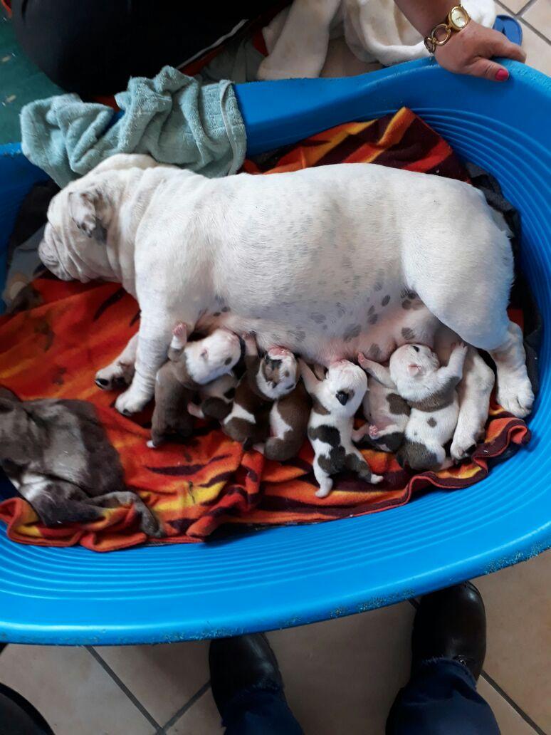 KUSA registered English Bulldog Puppies needs loving homes