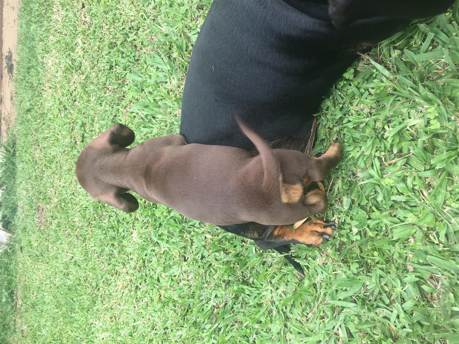 Miniture daschund puppies