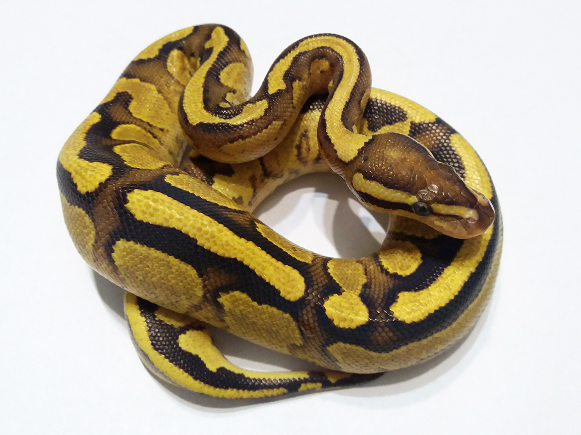 Vanilla Yellow Belly Ball Python Female