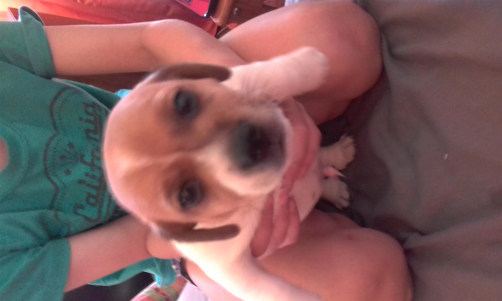 Short leg Jackrussel puppies