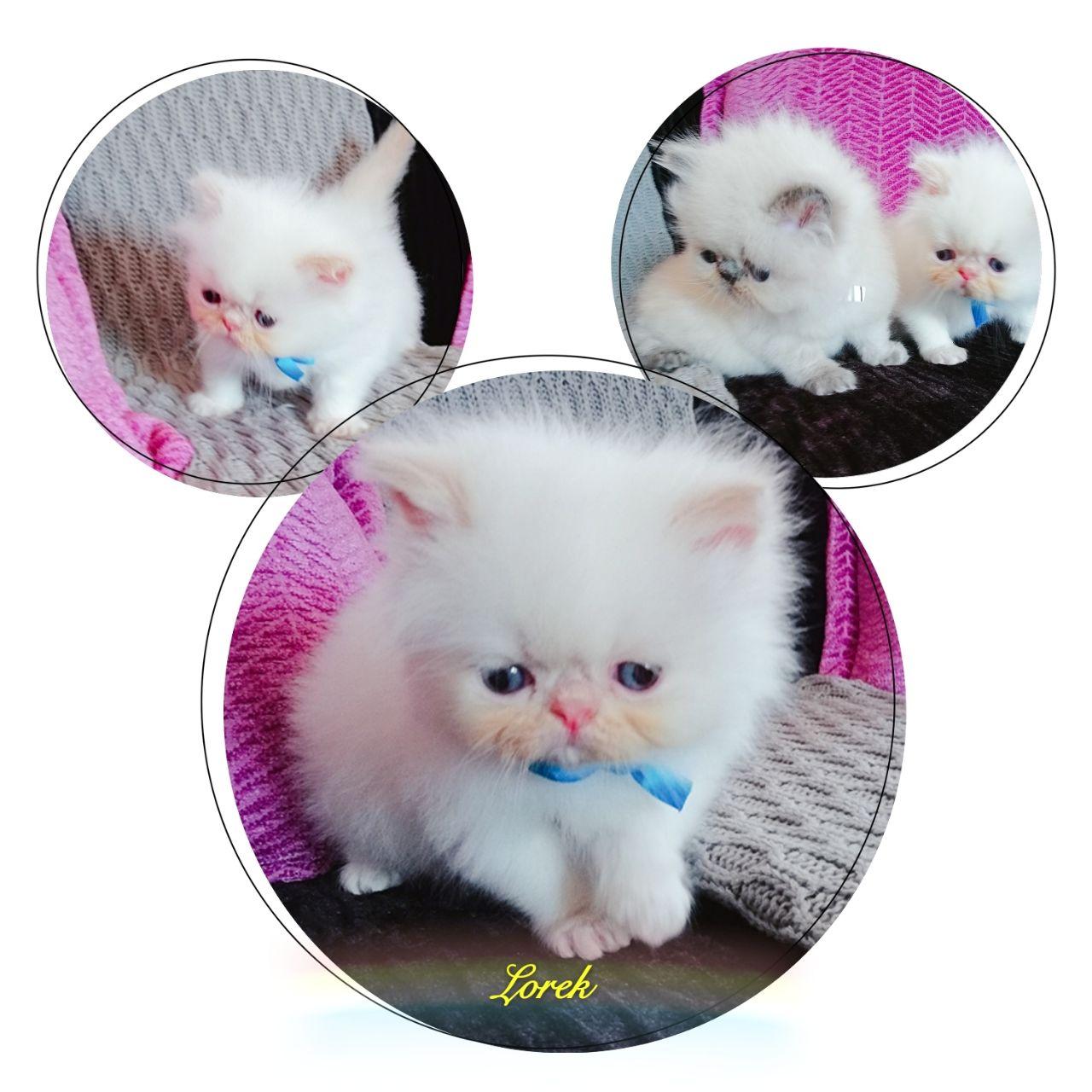 Persian Kittens / himalayan