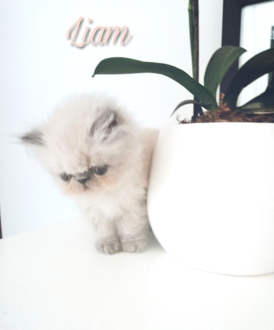Persian Kittens / himalayan