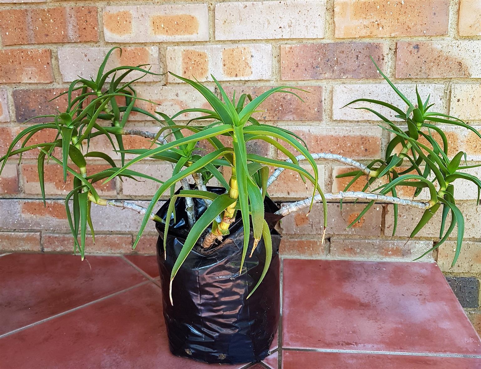 Aloe Plants for Sale