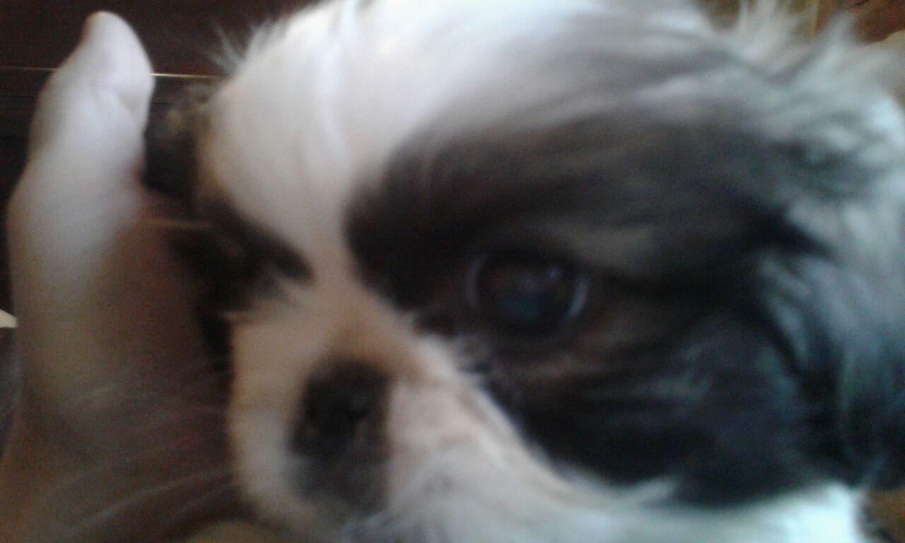 Purebred pekingese male puppy