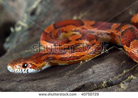 Corn Snake including tank and all accessories