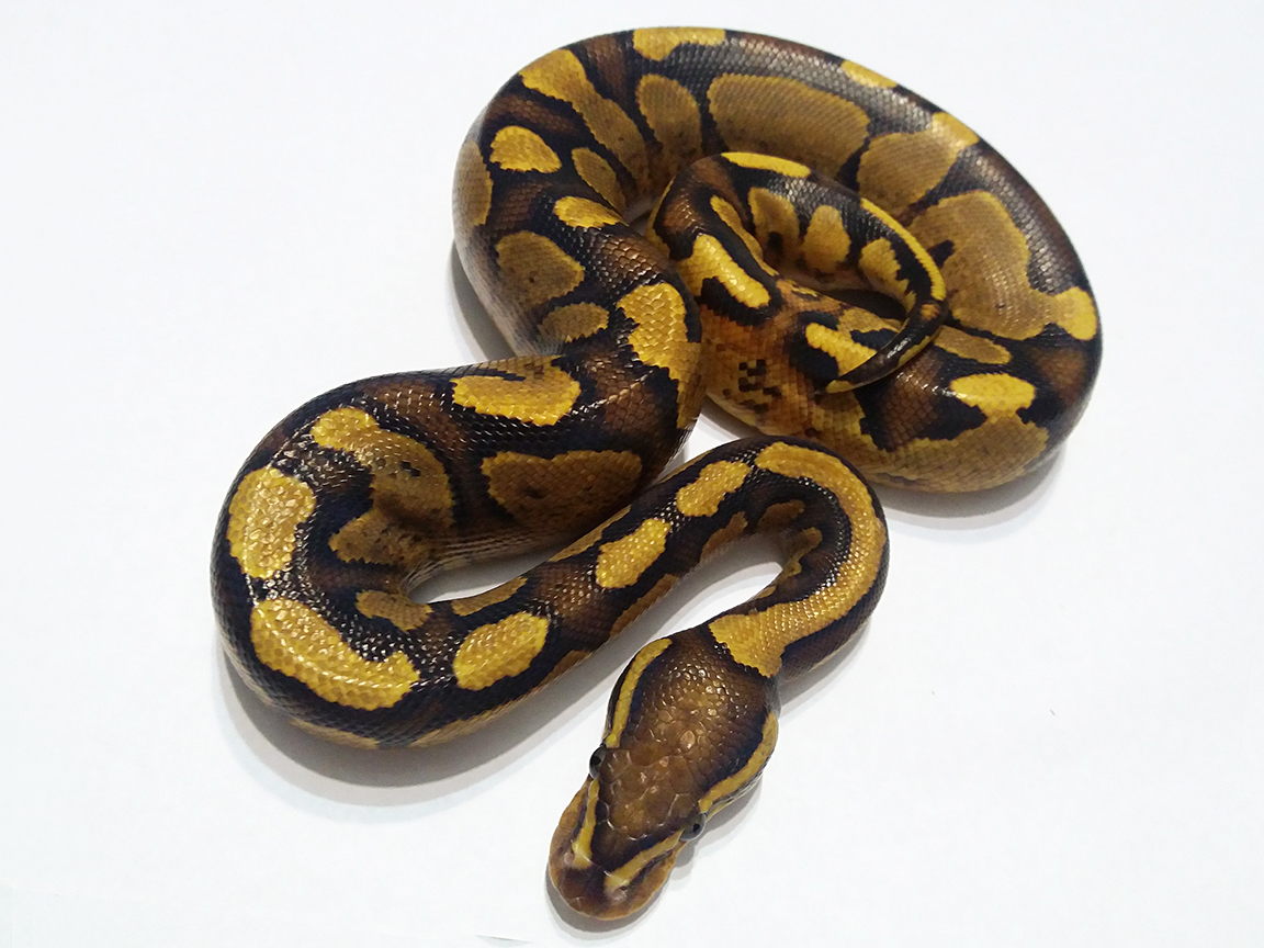 Fire Yellow Belly Ball Python Female