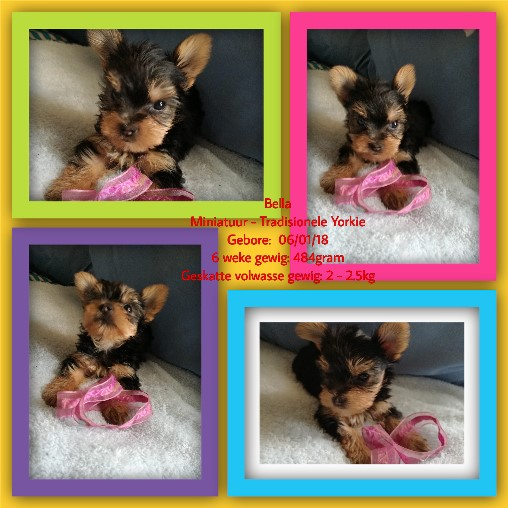 Miniature Yorkies for sale