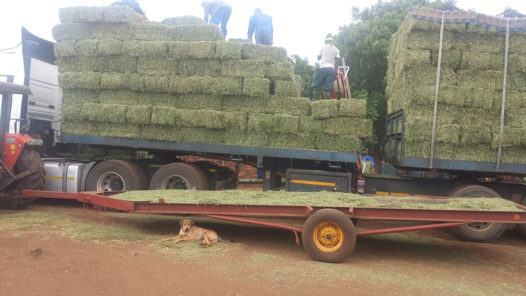 Excellent Quality 1st Grade Lucern For Sale