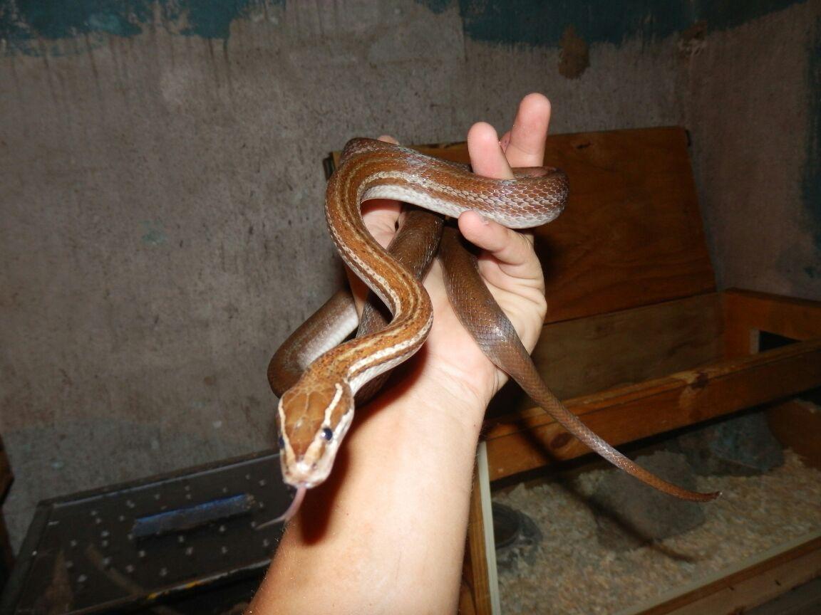 Brown House Snake plus tank