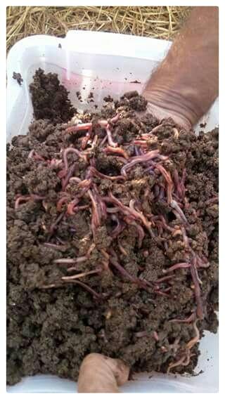 Red wiggler earthworms Rooi kariba erdwurms
