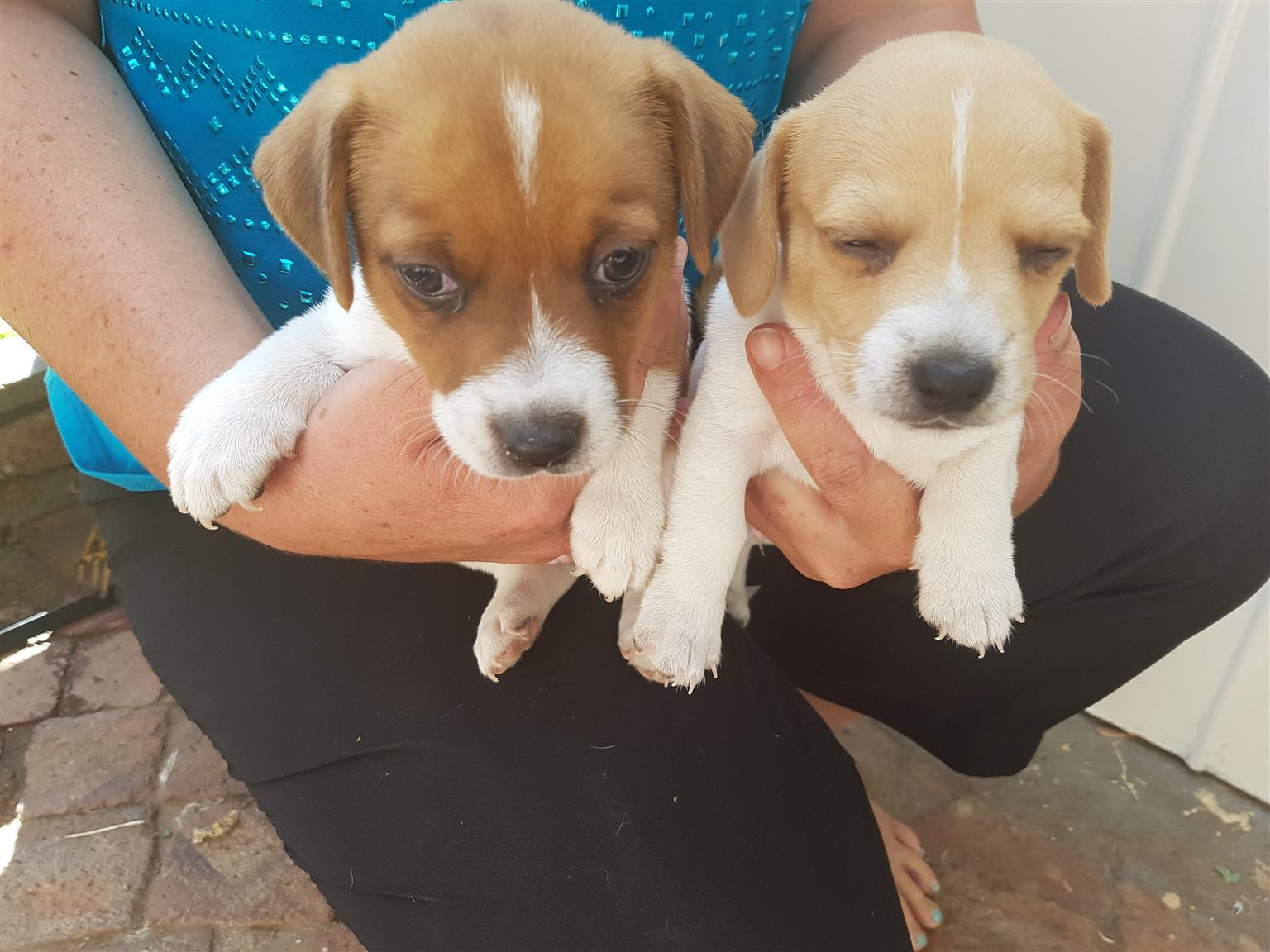 Jack Russel puppies x2 males