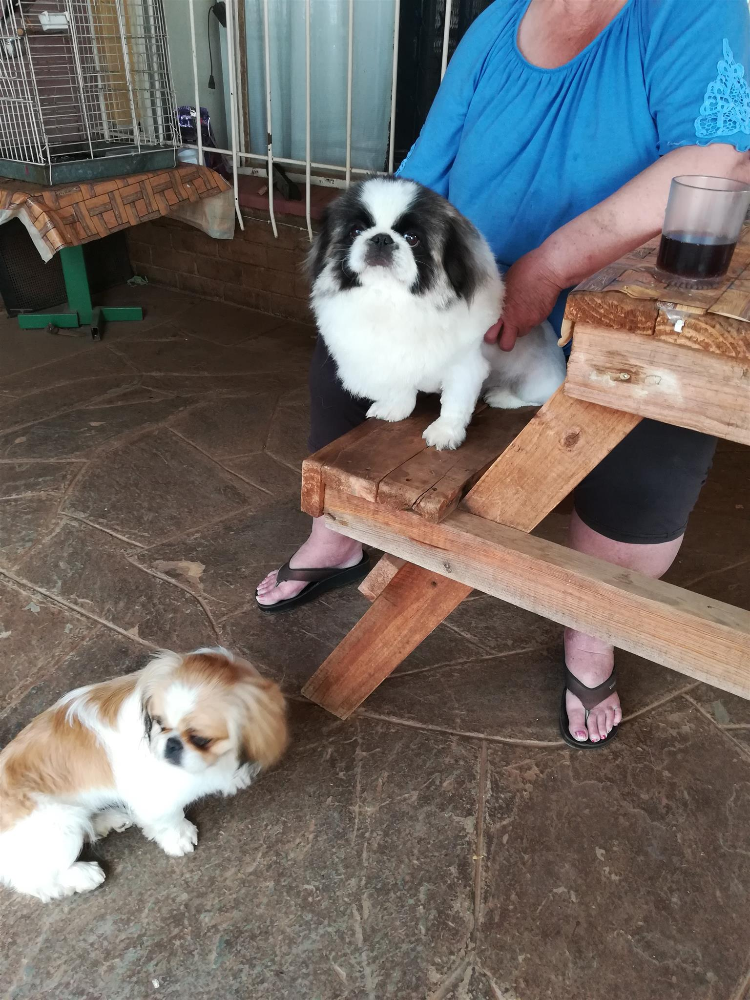 Pekingese puppies (adorable).Nine weeks old. Inoculated, ready to go. Two males,left.