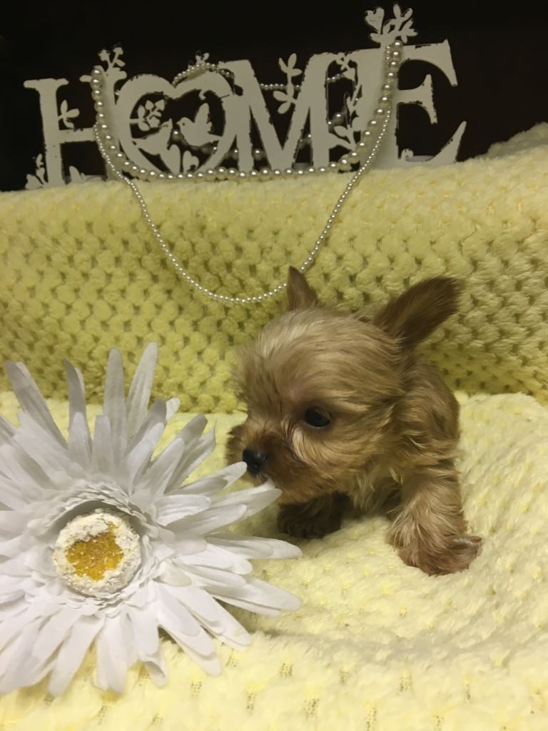 Yorkshire Terrier puppies for sale R 3 500 For Sale