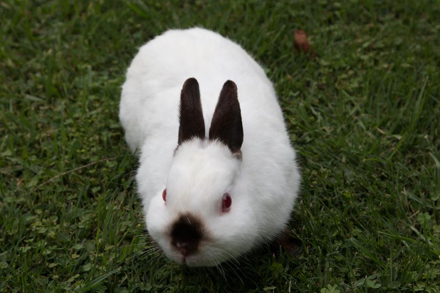 2 matured dwarf rabbits