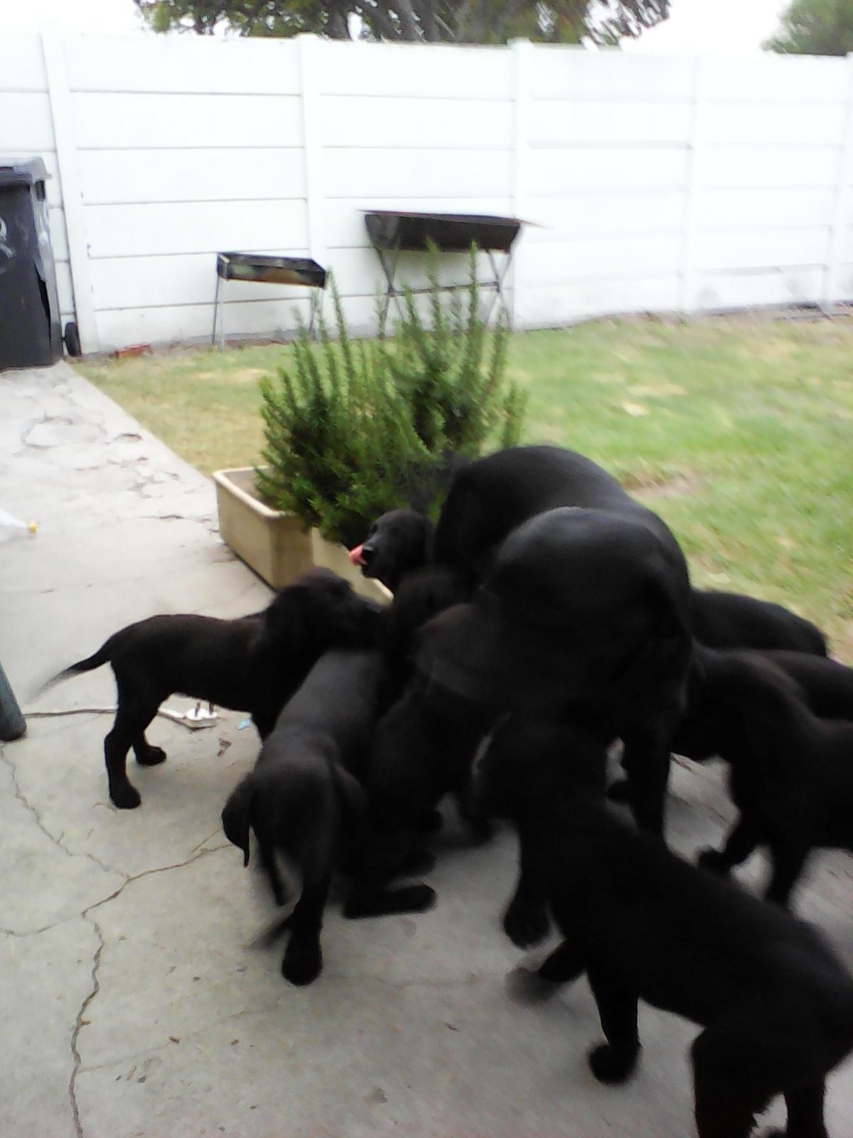 puppies(labrador)
