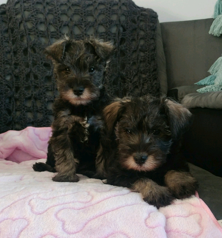 miniature schnauzer in Pets in Pretoria East | Junk Mail