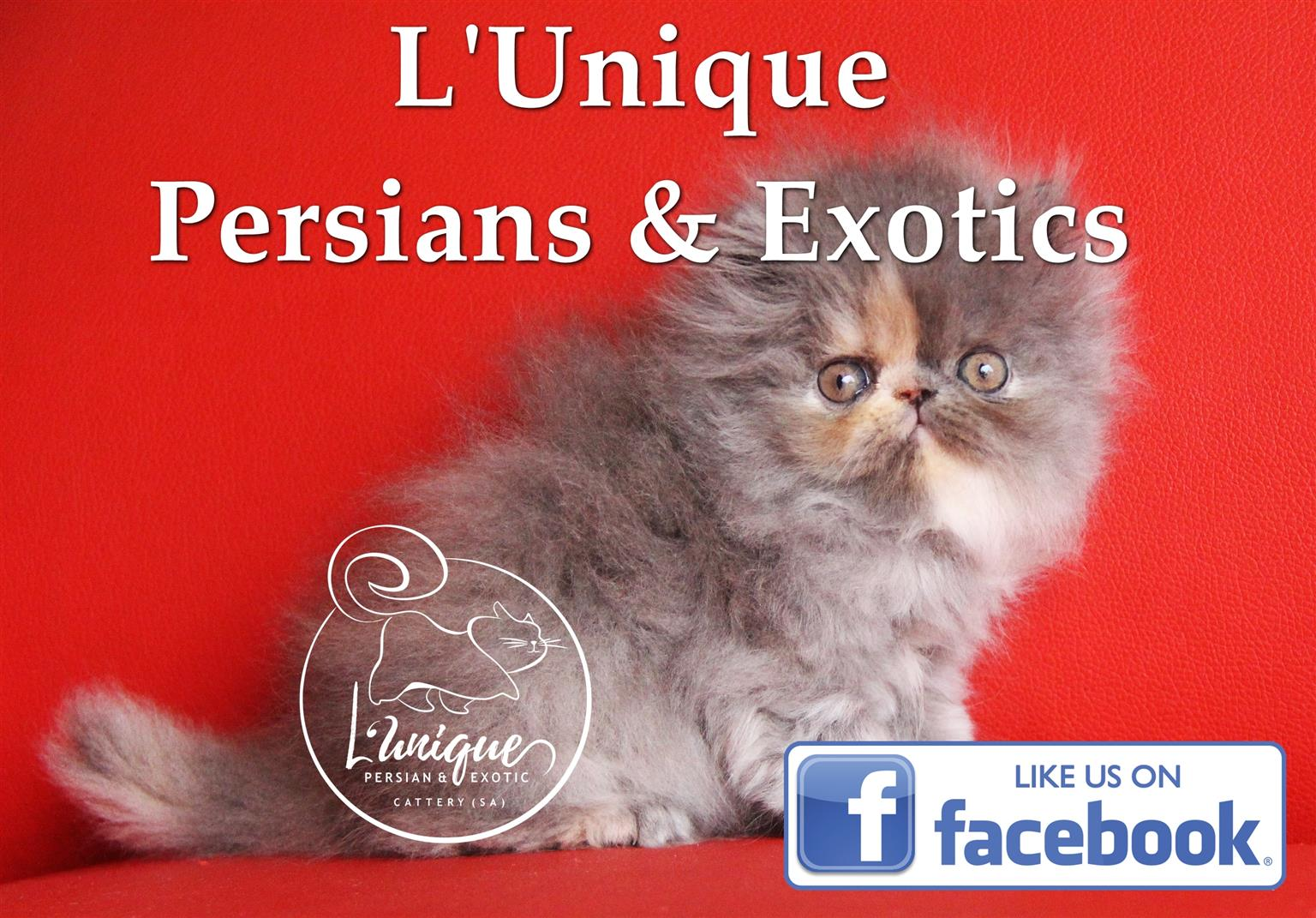 Bluecream Persian Girl For Sale