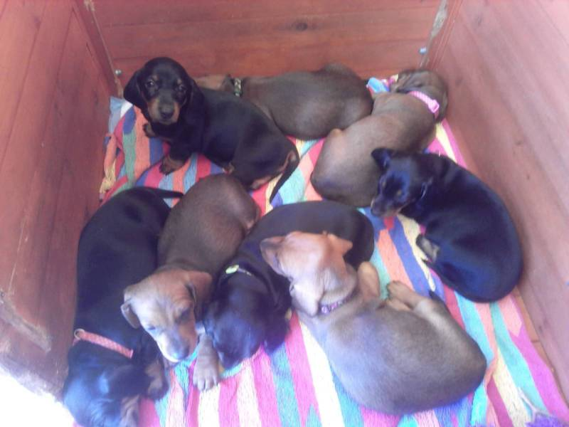 Dachshund Pure Breed Registered Miniature Smooth Puppies