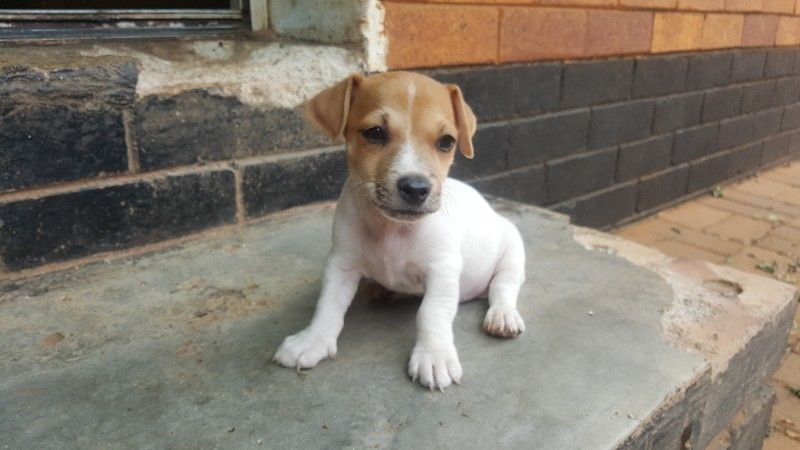 Beautiful Jack Russel Puppies for Sale