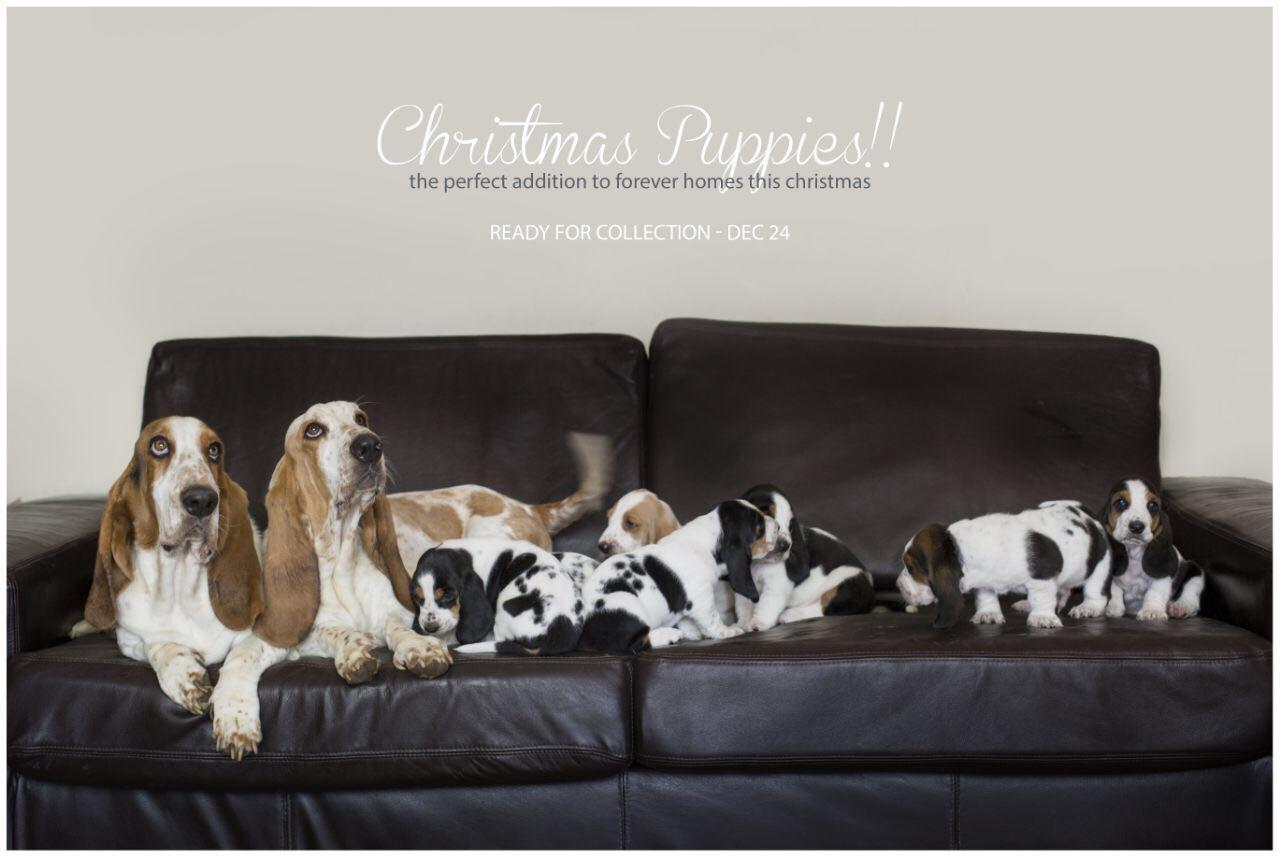 Gorgeous Basset Hound Puppy