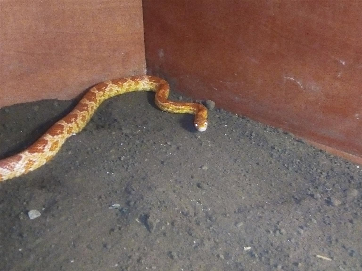 Corn snake with cage