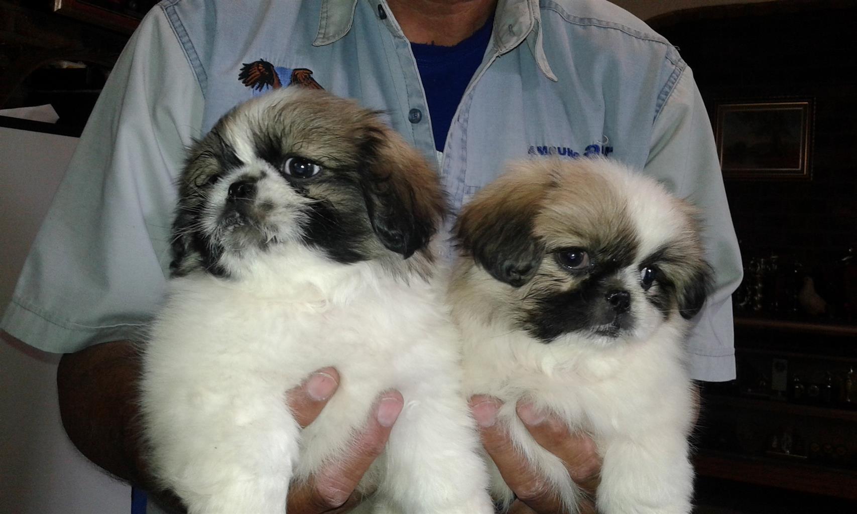 Pecangese Puppies