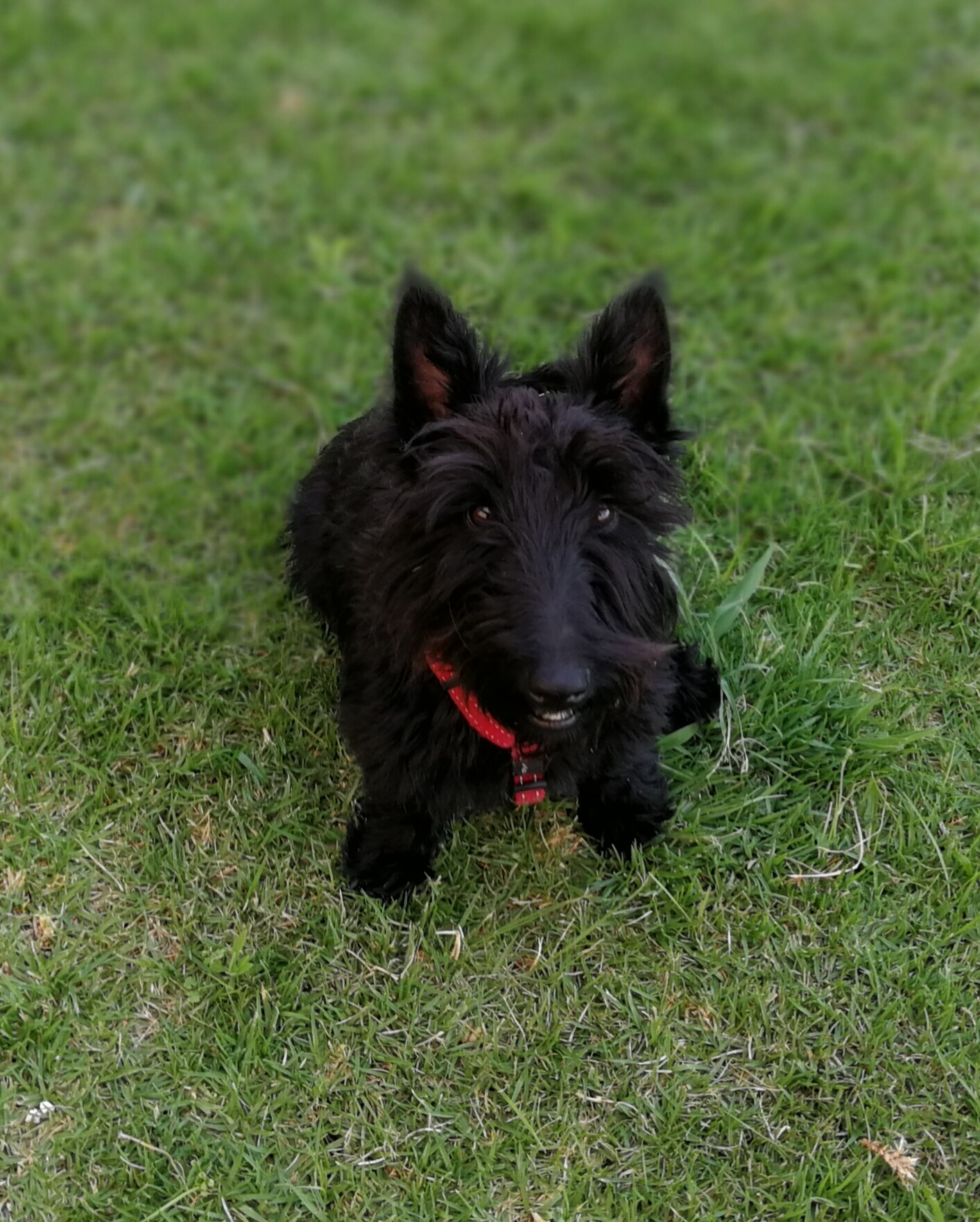 Opregte Scottish Terriers