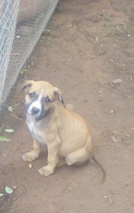 Ridgeback x boxer puppies