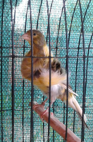 Canaries from Registered Breeder