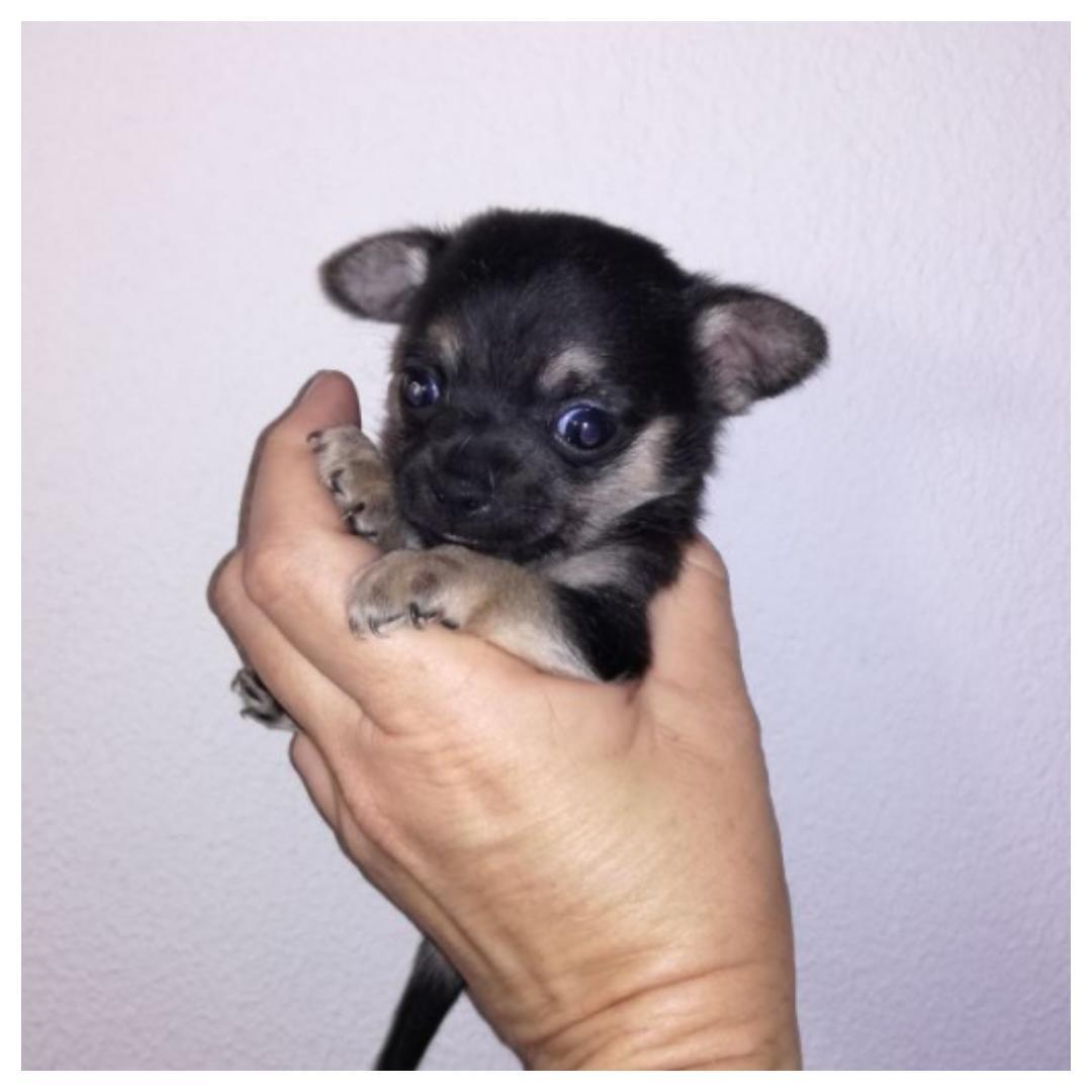 Chihuahua teacup pups