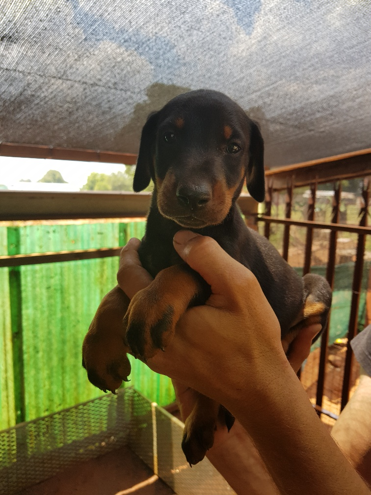 Doberman Large Breed Black & Tan Male Puppy
