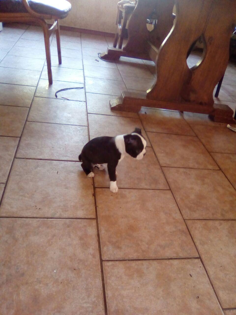 Bostonterrier Reun Puppy