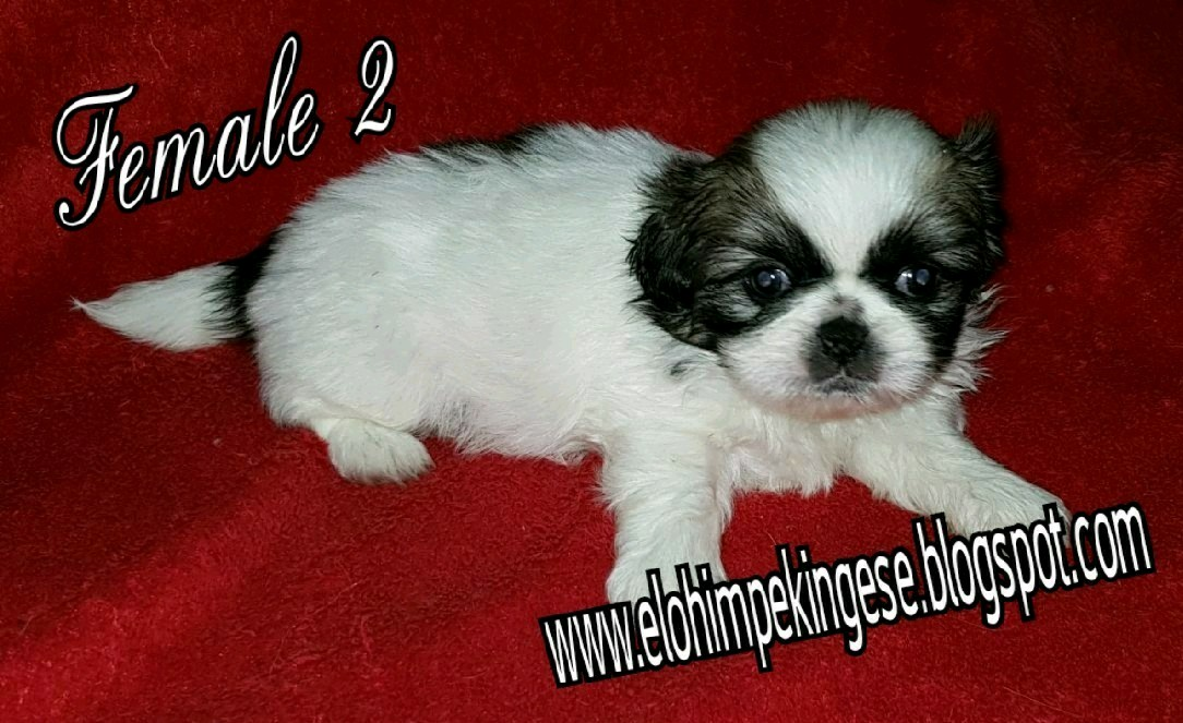 Miniature Pekingese Puppies for sale