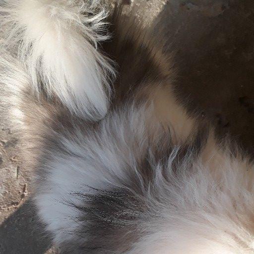 pekingese male puppy R1200