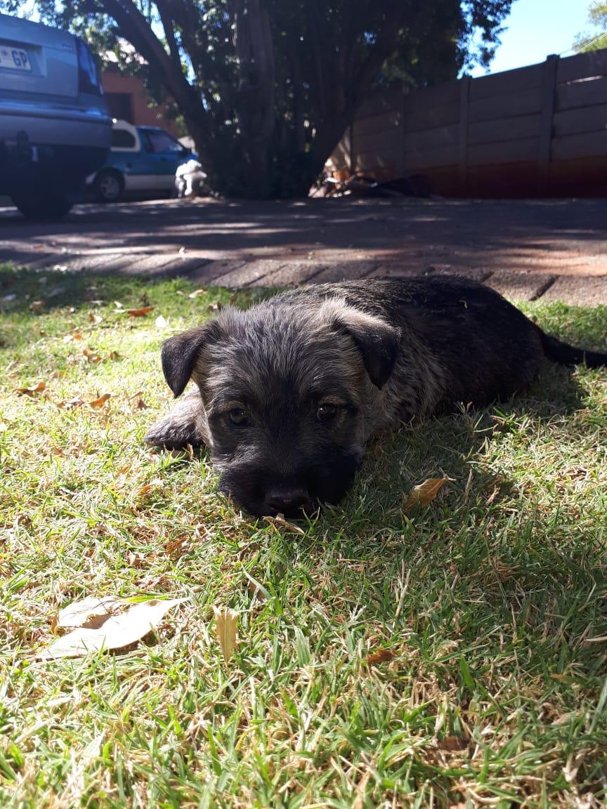 Brindal scotties terrier puppies