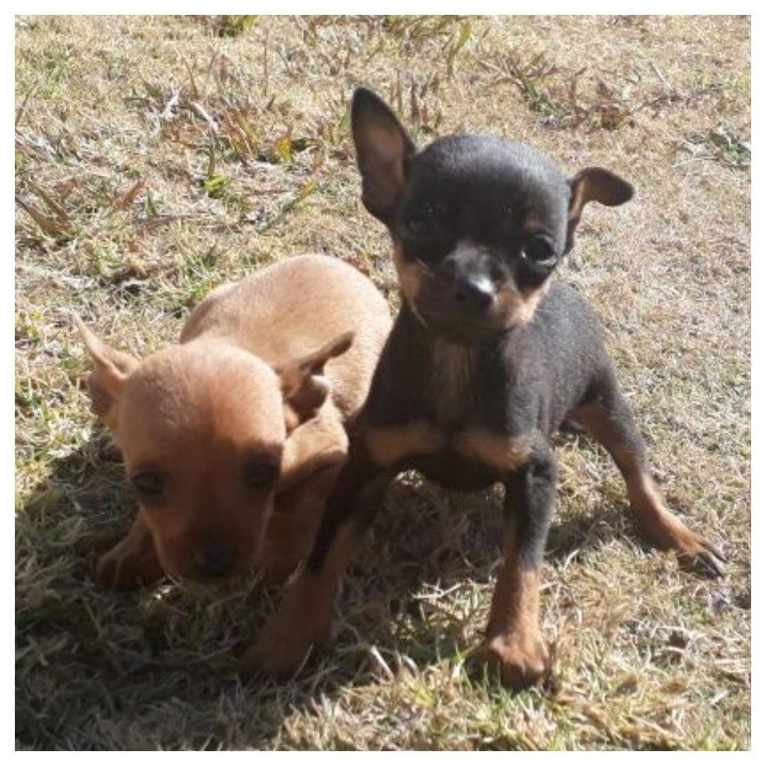 Miniature pincher / bokkie pups.