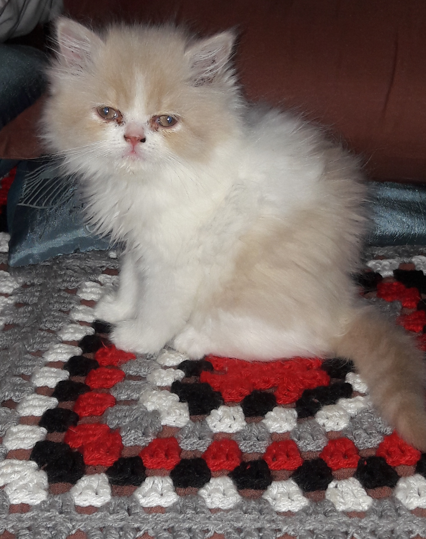 Persian x kitten for sale
