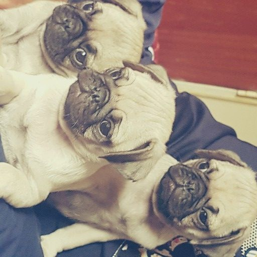 Pug purebred pups for sale