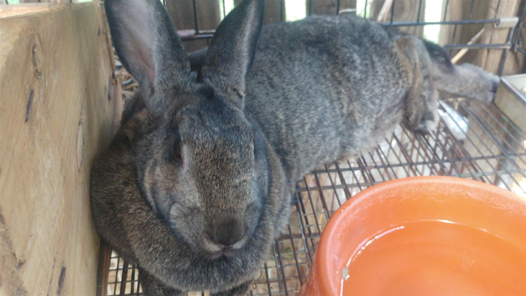 Lovely very large breeds Flemish Giant for sale