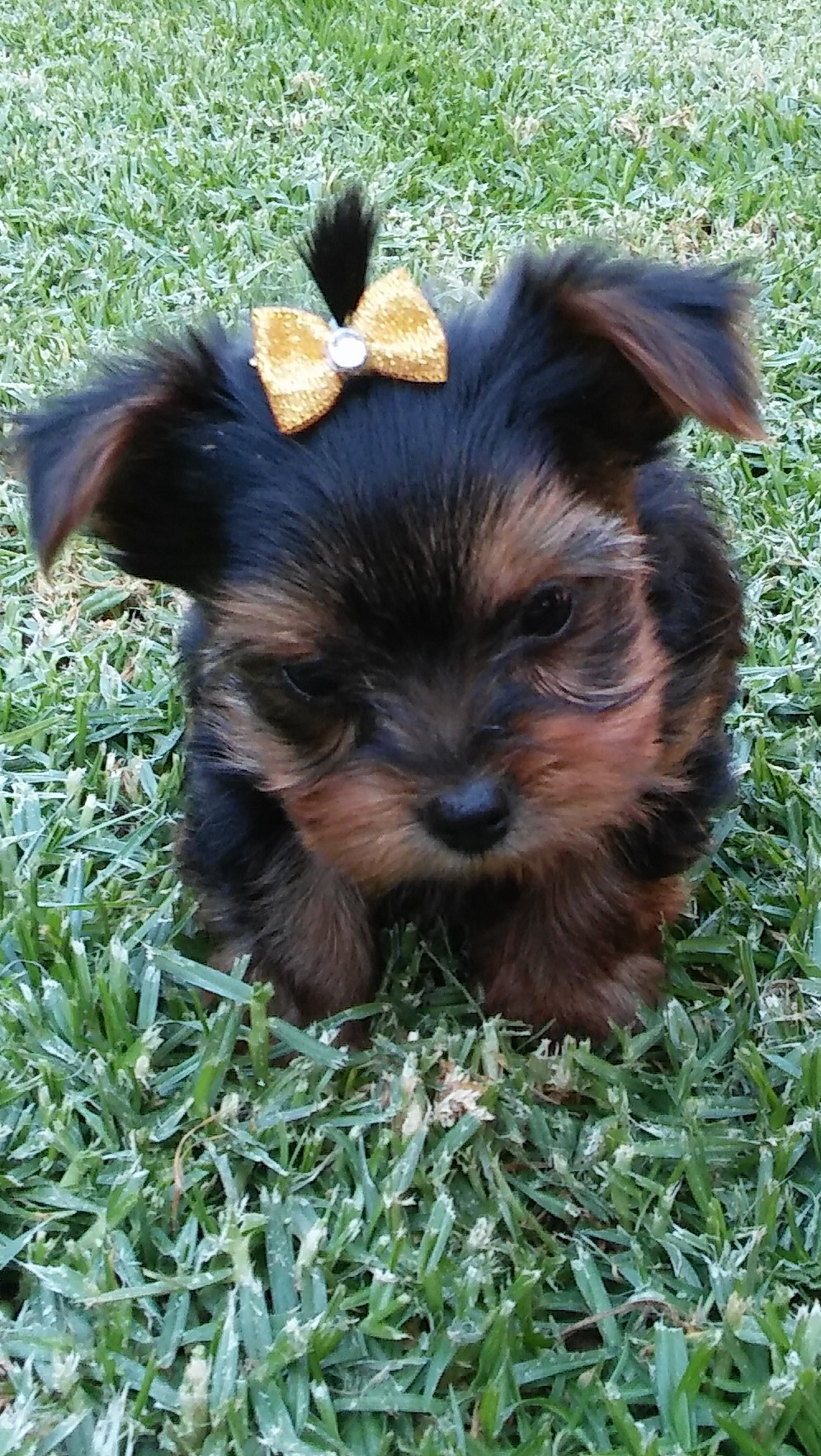 Cute Yorkies Girls Available Junk Mail