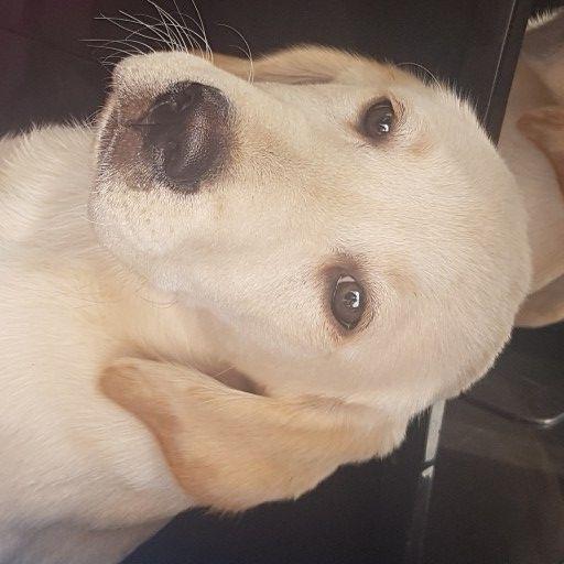 labrador golden puppies