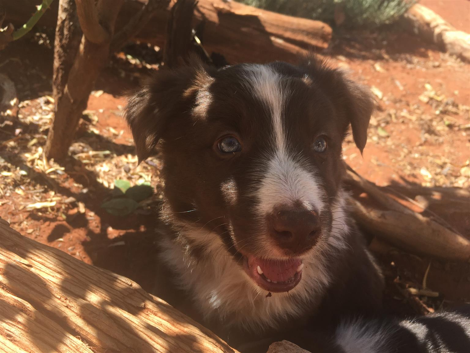 Pure Bred border collies for sale