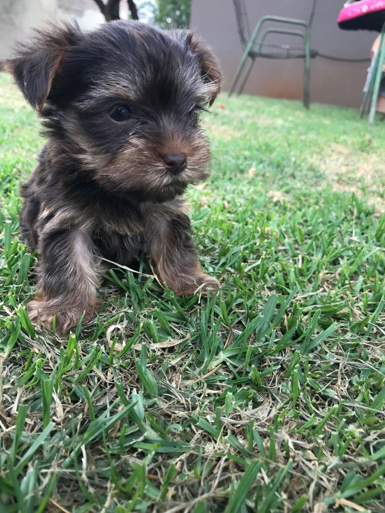 Yorkshire Terriers (Chocolate)