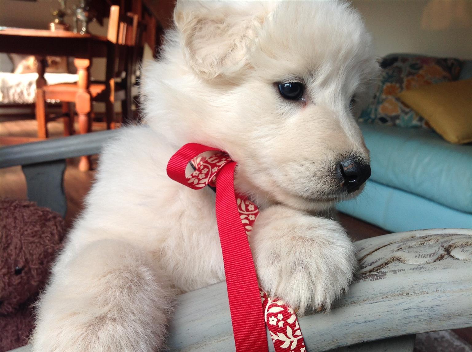 KUSA Registered White Swiss Shepherd Puppies