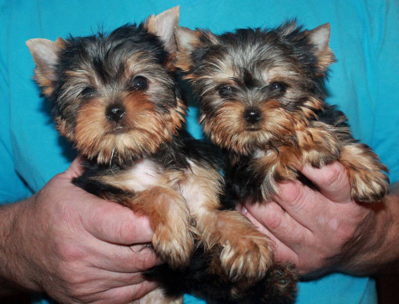 Pure Toy Yorkie Puppies (Yorkshire Terrier)